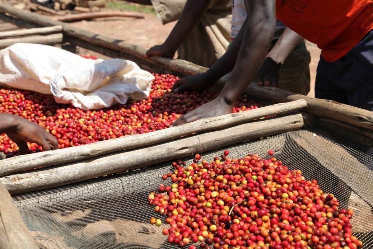 Burundi - Burundi: Kaffeeland auf dem Vormarsch
