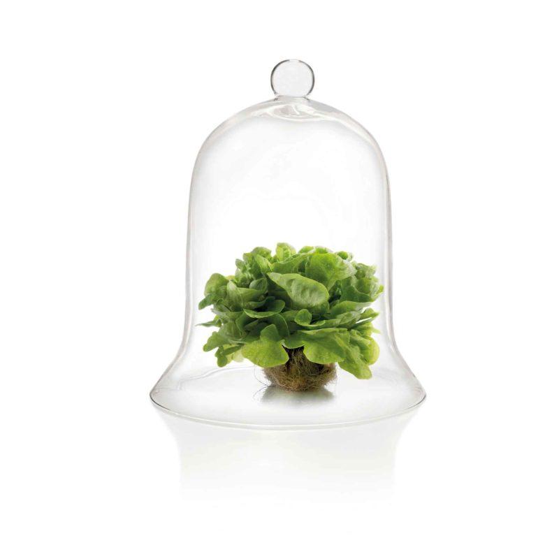 Ernährung, Grüner Salat unter einer Glasglocke