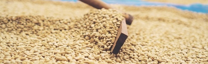 Holzrechen faehrt in Nahaufnahme durch getrocknete Kaffeebohnen